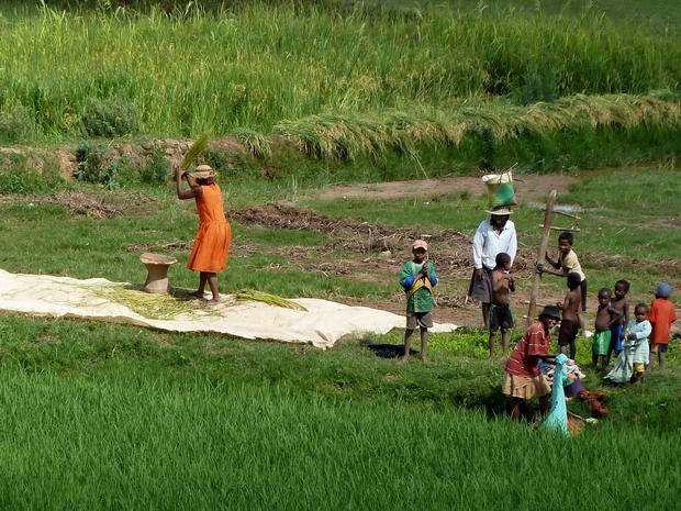 récolte riz