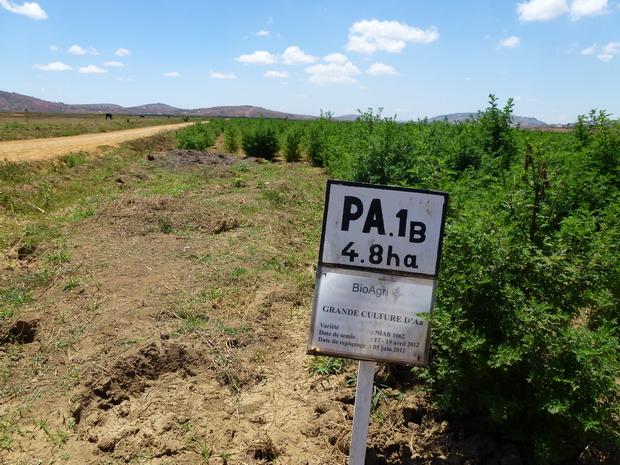 Plantation d' Artémisia
