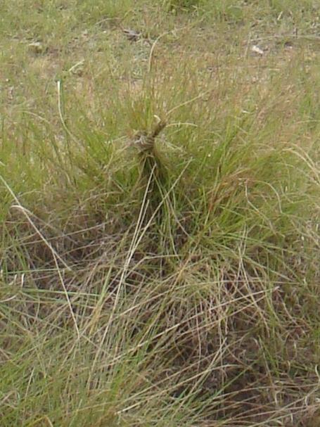 aux abords du tombeau le long de la piste il y a une multitude de noeux fait avec les brins d' herbe La culture populaire veut que cela vous permette d' entreprendre un bon voyage comme à emplacement du tombeau de Ramoratsialaina sur la piste Ambohidratrimo Ambohinanjaka Andriantany