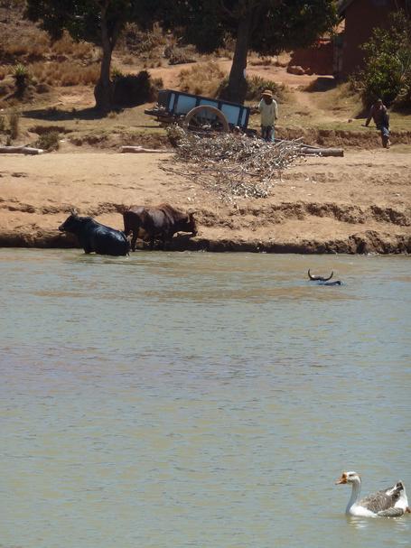 traversée des zébus dans l' Ikopa
