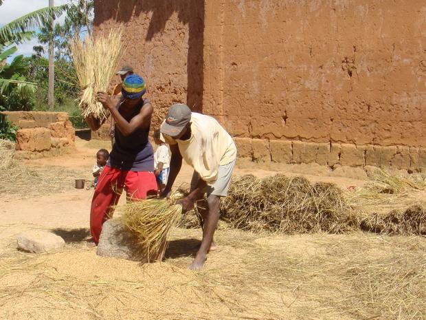 """Village d' Ankosy  prise de vue avril récolte du riz à la saison des pluies, avril la 2° récolte, la 1° récolte en décembre séparation du riz et de la paille, battage du riz """"mively vary"""" sur la petite place réservée à cela """"famoloana"""" qui demande une préparation au préalable """"lalorina tainomby"""" qui consiste à enduire le sol d'un mélange de bouse de zébu et d'eau pour retirer les petits cailloux qui pourraient se mélanger au riz"""