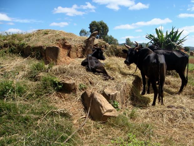 les ancêtres doivent se retourner dans leur tombe : les zébus, le fourrage sur un tombeau