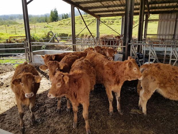 élevage bovins ligne des 1300